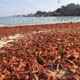 Pelagic red crabs stranded on a beach in Pacific Grove, California