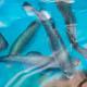 Rainbow trout swim inside an aquaculture tank at UC Santa Cruz