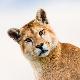 Mountain lion, Chile