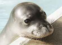 Mad for monk seals