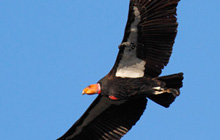 Research confirmed link to condor deaths