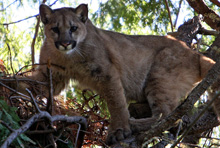 Big cats: Mountain lions and us