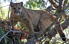UCSC students stalk the elusive mountain lion