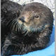 Sea otter at UC Santa Cruz's Long Marine Lab turns 21 years old