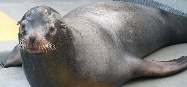 Hundreds of sea lions strand on California beaches every year with symptoms.