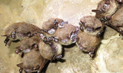 Grants support efforts to fight deadly bat disease