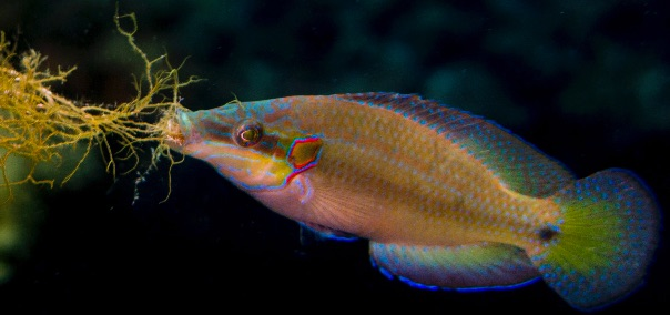 A nesting male ocellated wrasse collects algae for his nest. (Photo by Natascia Tamburello)