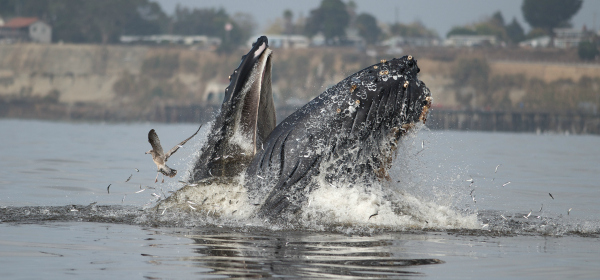 Sightings of humpback whales feeding on anchovies have been common.