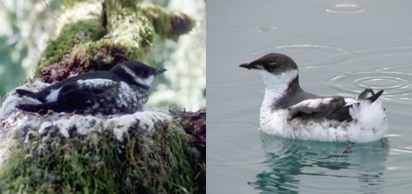 Biologists didn't know where secretive marbled murrelets nested until the '70s.
