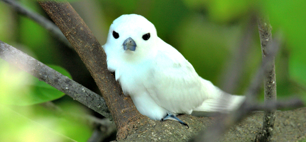 White terns returned to the Seychelles after invasive mammals were removed.