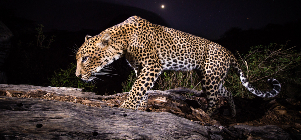 Researchers outfitted African leopards with high-tech wildlife tracking collars equipped with GPS technology and an accelerometer to measure energy output. (Photo by John Armstrong)