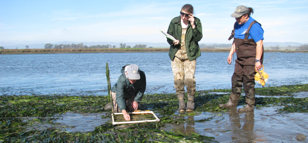 Staff and citizen scientists participate in monitoring of eelgrass beds and mudflat animal communities at the Elkhorn Slough National Estuarine Research Reserve. (Photos courtesy of Kerstin Wasson)