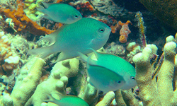 New fish species shows rare parental care behavior