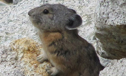 Pikas disappear from swath of Sierra Nevada