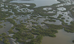 Protecting mangroves can prevent flood damage