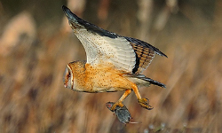 Raptors recruited to control rodents in levees