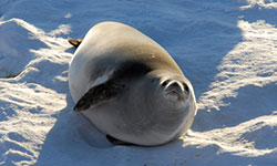Crabeater seals studied to predict krill changes